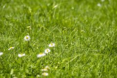 Blurred Green Summer background With Daisies flowers and green grass and water drops flying.  Royalty Free Stock Photography