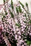Blurred heathers Stock Photos
