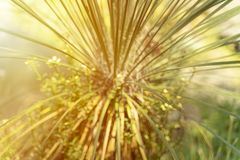 Blurred image of Agave plant royalty free stock photography