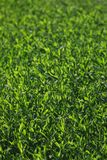 Blurred image of green grass under bright sunlight. Abstract background, film effect and author processing.  royalty free stock photography