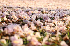 Blurred image of pink flowers scattered on green grass. Royalty Free Stock Photography