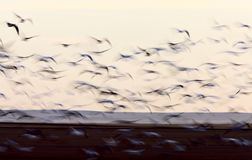 Blurred Image Snow Geese panned Royalty Free Stock Photo