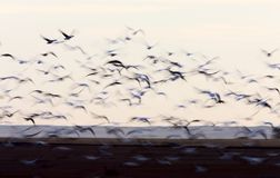 Blurred Image Snow Geese panned Royalty Free Stock Images