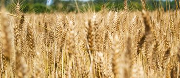 Blurred image of yellow wheat field - Triticum, Triticeae, Poaceae, Angiosperms Royalty Free Stock Photo