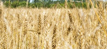 Blurred image of yellow wheat field - Triticum, Triticeae, Poaceae, Angiosperms Royalty Free Stock Images