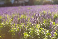 Blurred lavender background royalty free stock images