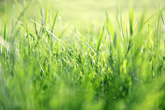 Blurred Lawn Grass Background Stock Image