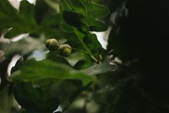 Green oak acorn on a blurred dark background of foliage stock photo