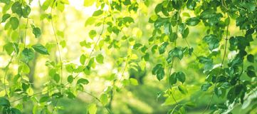 Blurred of leaf bokeh in garden morning background,spring summer. Season or green concept ideas royalty free stock images