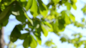Blurred leaves of a tree, the sky on a sunny day stock footage