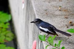 Oriental magpie robin bird standing on the cement wall with tropical leaves royalty free stock photography