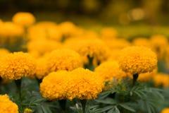 Blurred Marigold flower Royalty Free Stock Photo