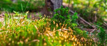 Blurred moss on the forest ground. Vegetation on the forest ground, moss and small flowers , blurred background stock images