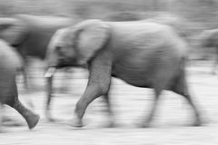 A blurred motion image of elephants running. Royalty Free Stock Image