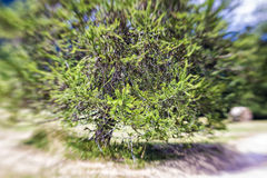 Blurred Mountain Tree. Lensbaby Shot Royalty Free Stock Photos