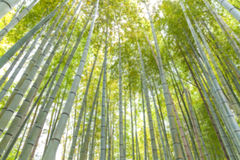 Blurred natural background of Bamboo Royalty Free Stock Images