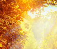 Blurred nature background with beautiful sunny autumn foliage in park Stock Photos