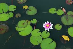 Botanical Beauty Background. Water Lily In The Water. Blurred Nature Background. Botanical Beauty Background. Water Lily In The Water stock photography