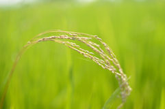 Blurred nature backgrounds  with paddy rice field. In the morning Royalty Free Stock Image