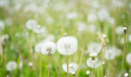 Blurred Nature Spring Background with white fluffy dandelion flo royalty free stock photography