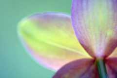 Blurred orchids dreamy meditation abstract background. Flower Royalty Free Stock Photography