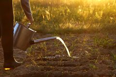 Care for young onion sprouts. Blurred outlines of a gardener with a watering can and a stream of water sparkling at sunset background stock images