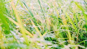 Blurred paddy rice field with bokeh and filtered color in the mo Stock Photo