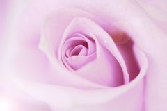 Blurred pale purple rose and light flare background Royalty Free Stock Photo