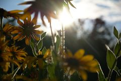 Blurred photo for the background with a group of yellow flowers of Rudbeckia through which the evening sunlight penetrates.  royalty free stock photo