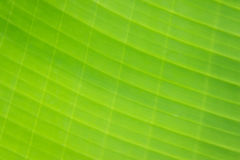 Blurred photo of pattern on banana leaf Stock Image