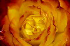 Blurred photo of roses flower Stock Photography
