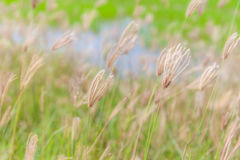 Blurred photo of swaying finger grass in the morning. Stock Photos