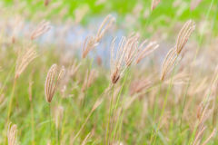 Blurred photo of swaying finger grass in the morning. Royalty Free Stock Photo