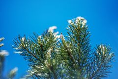 Blurred pine branches Royalty Free Stock Photos
