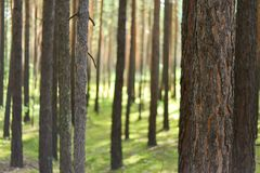 Blurred pine forest stock images