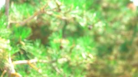 Blurred pine tree in forest. Green nature background stock footage