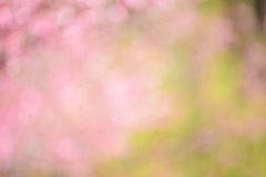Blurred pink abstract background from cherry blossom flowers. Blurred pink abstract background from cherry blossom (sakura) flowers royalty free stock image