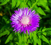 Blurred pink Blessed milk thistle flower, close up, shallow dof. Royalty Free Stock Images