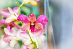 Blurred of pink orcid for background Royalty Free Stock Photo