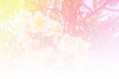 Blurred of Plumeria flowers blooming. in the pastel color style for background. Blurred of Plumeria flowers blooming.the pastel color style for background Royalty Free Stock Photography