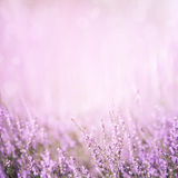 Blurred purple floral background. Blurred summer abstract nature background with Heather flowers in the meadow with copy space. Purple floral background Stock Photos