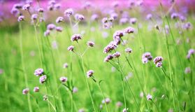 Blurred purple flowers bloom. Background with vintage filter Stock Photo