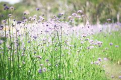 Blurred purple flowers bloom Royalty Free Stock Photos