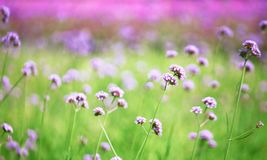 Blurred purple flowers bloom Royalty Free Stock Images