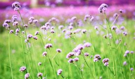 Blurred purple flowers bloom. Background with vintage filter Stock Image