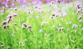 Blurred purple flowers bloom. Background with vintage filter Royalty Free Stock Image
