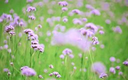 Blurred purple flowers bloom Stock Photos