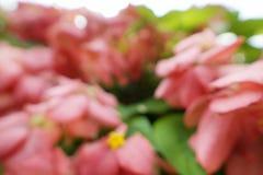 Blurred red flowers backgroundPink Dona Queen Sirikit. Blurred red flowers background,Pink Dona Queen Sirikit. mussaenda philippica flower. nature wallpaper Stock Image