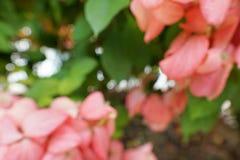 Blurred red flowers backgroundPink Dona Queen Sirikit. Blurred red flowers background,Pink Dona Queen Sirikit. mussaenda philippica flower. nature wallpaper Stock Photos
