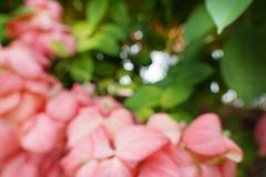 Blurred red flowers backgroundPink Dona Queen Sirikit. Blurred red flowers background,Pink Dona Queen Sirikit. mussaenda philippica flower. nature wallpaper Royalty Free Stock Photos